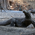 Local Gov't Offers $1,000 Year Long Pass to Komodo Island