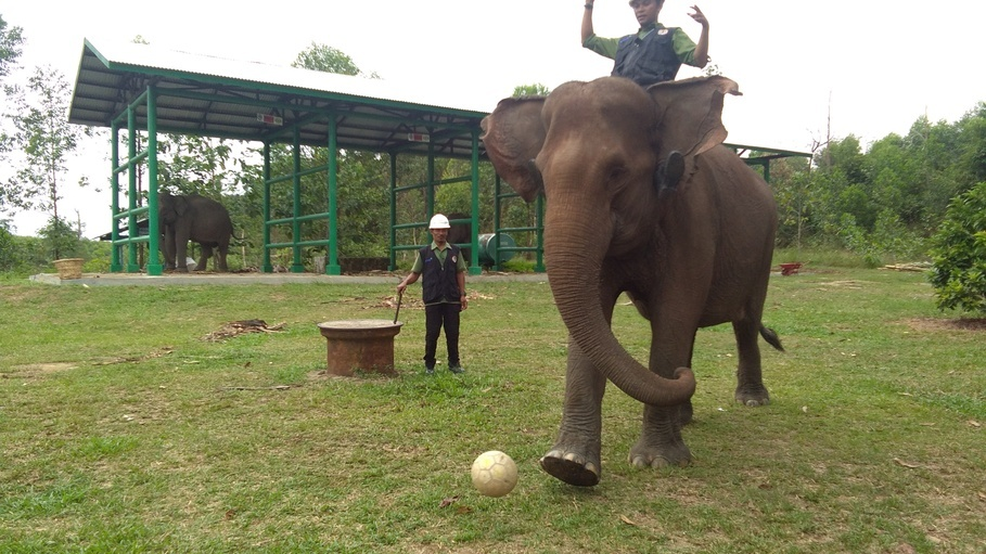 One of the elephants in RAPP's Flying Squad attempts to play football. (JG Photo/Muhamad Al Azhari)