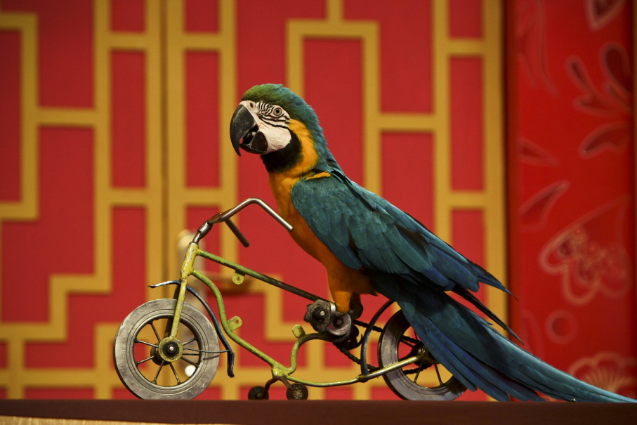 A parrot rides a bicycle during a show presented by animal trainers from Taman Safari Indonesia. (JG Photo/Yudha Baskoro)