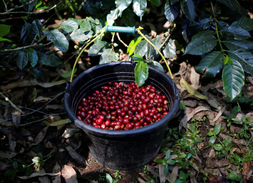 Freshly harvested arabica coffee cherries are seen in a bucket at a plantation near Pangalengan, West Java. (Reuters Photo/Darren Whiteside)