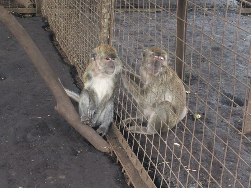 Ex-dancing monkeys in JAAN's rehabilitation center. (Photo courtesy of Jakarta Animal Aid Network)