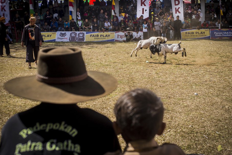 Sheep fighting is a sport observed by male family members of all generations. (JG Photo/Yudha Baskoro)
