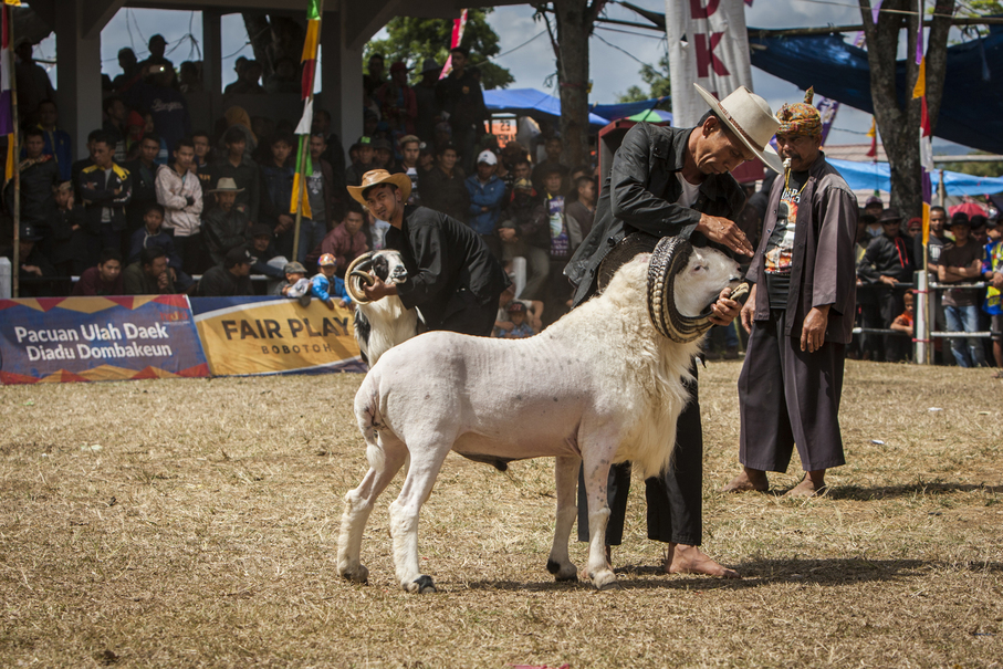 Breeders massage their rams on the Garut fighting arena. (JG Photo/Yudha Baskoro)