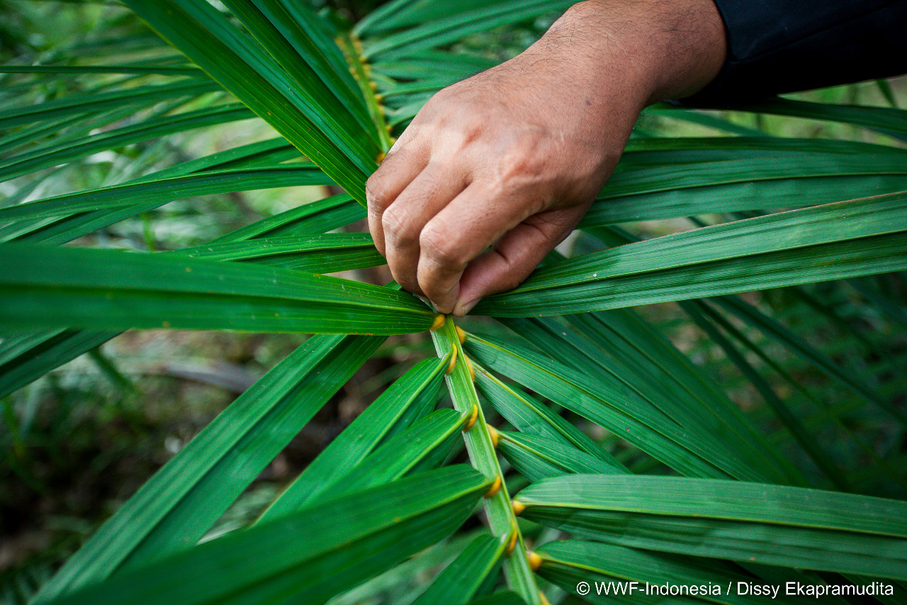 An instructor shows palm oil farmers how to seek 'grasshopper tails' that signify the right time to fertilize a palm tree. (Photo courtesy of WWF Indonesia/Dissy Ekapramudita)