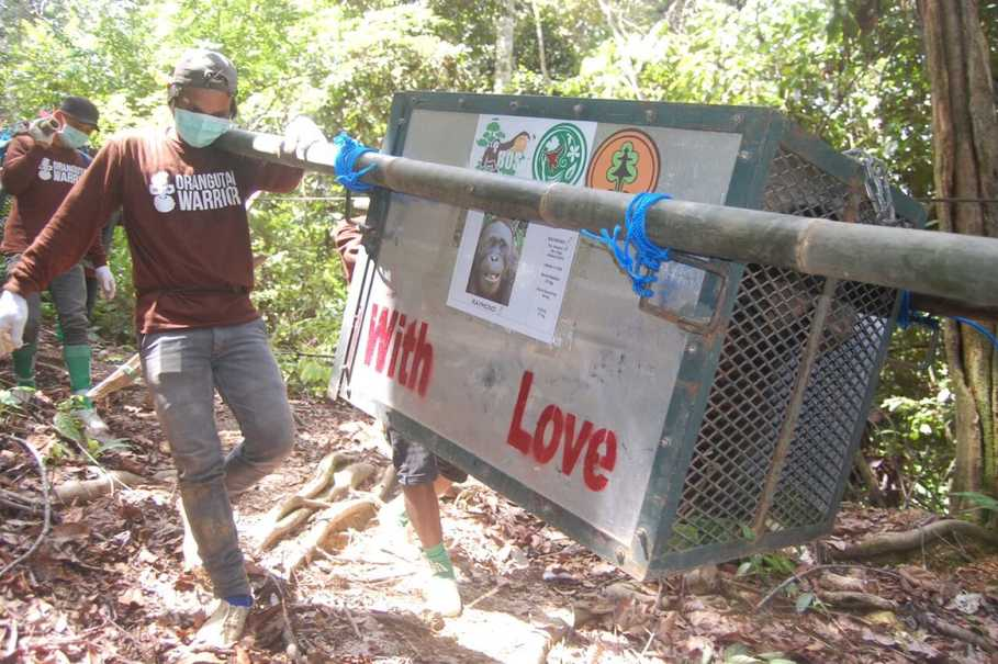 Five Rehabilitated Orangutans Released Back Into the Wild in E. Kalimantan