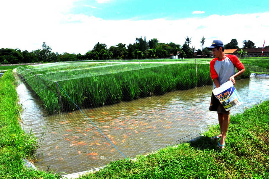 Rice-fish farms at Cibluk Village near Margoluwih, Sleman, a district of Yogyakarta. (Photo courtesy of FAO)
