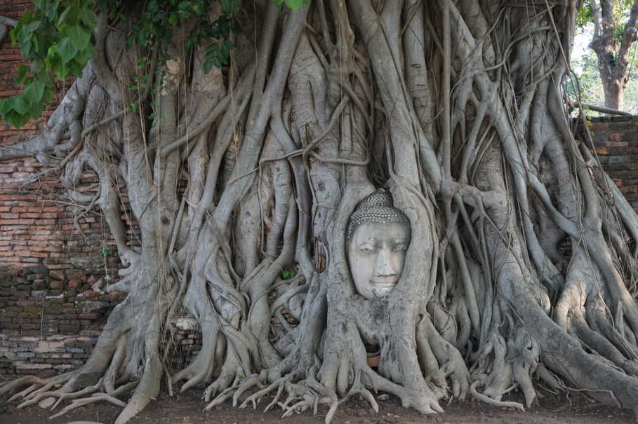 'Buddha's Head in Tree Roots' in Wat Maha That; the head was once part of a sandstone Buddha statue. When it fell off the body, the head was trapped in the roots of a constantly growing Bodhi tree. (JG Photo/Sheany)