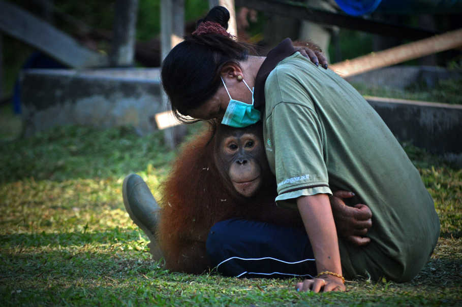 With their DNA bearing 96,4 percent similarity to that of humans, orangutans often behave alike. The orphaned ones seek motherly love from their caretakers. (B1 Photo/Danung Arifin)