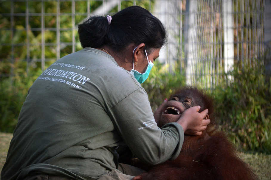 Orangutans learn survival skills from their mothers. Since many of them were orphaned at an early age, at Nyaru Menteng they learn the skills from their human caretakers. The process can take up to several years. (B1 Photo/Danung Arifin)