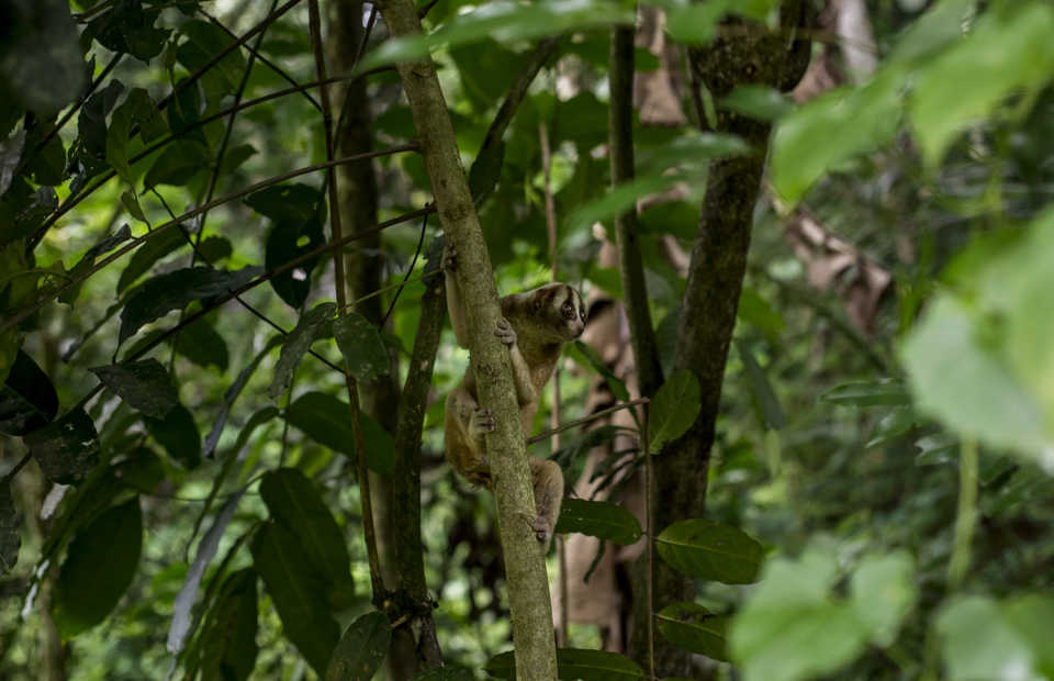A Javan slow loris perches on a tree in the Tampomas conservation forest. (JG Photo/Yudha Baskoro)