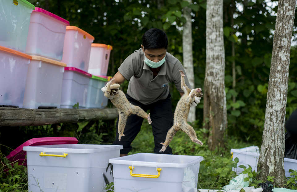 Two Javan slow lorises being moved to a different box during a routine check. The animals are easily stressed. (JG Photo/Yudha Baskoro)
