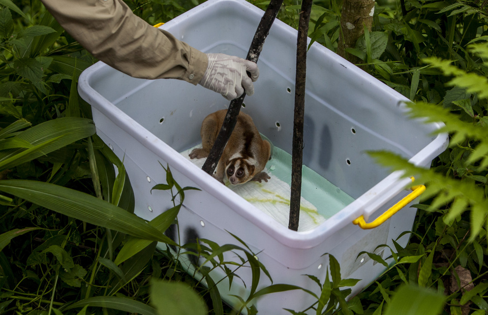 A member of International Animal Rescue prepares to relocate a Javan slow loris. (JG Photo/Yudha Baskoro)
