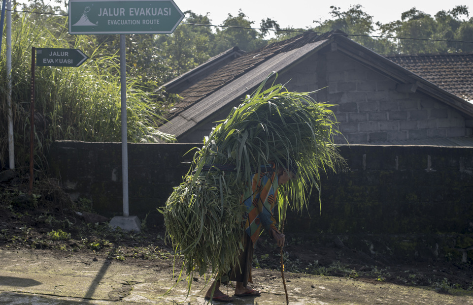 Resident carrying on her shoulder a stack of grass through the Mt. Merapi evacuation route in Kalitengah Lor, Sleman regency, Yogyakarta on Sunday (24/02) Dozens of residents still living inside the 6 kilometer around the Kalitengah Lor. (JG Photo/Yudha Baskoro)