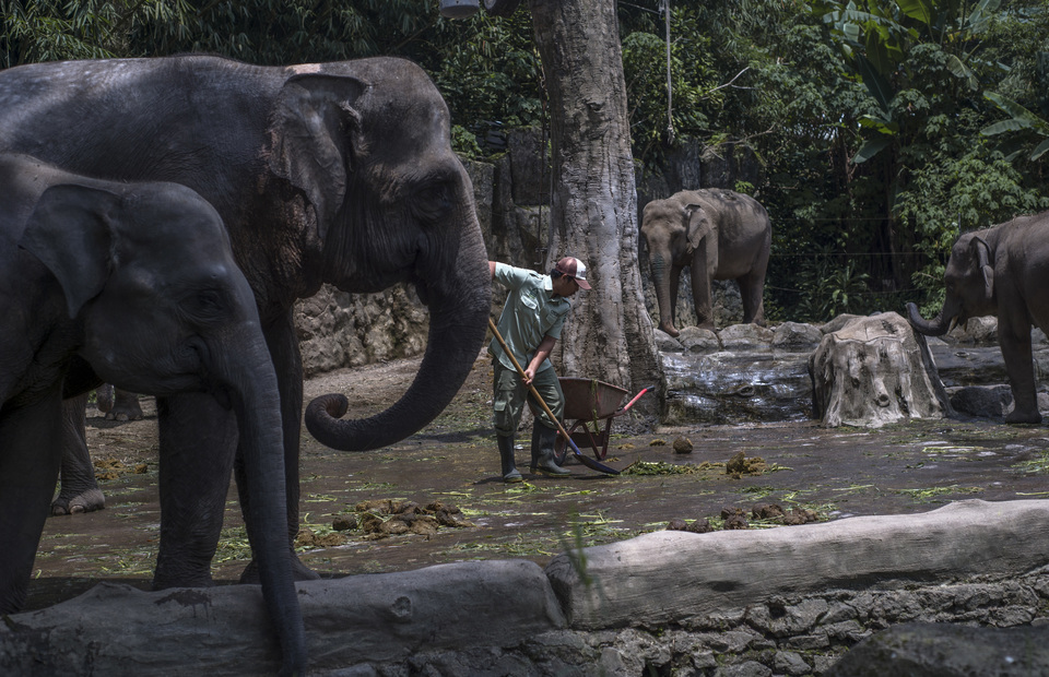 A worker scooped up elephant dung at Taman Safari elephant park on Wednesday (27/02) in Bogor, West Java. Since its opening in November 2012, the factory has transformed tons of elephant dung into recycled paper. (JG Photo/Yudha Baskoro)