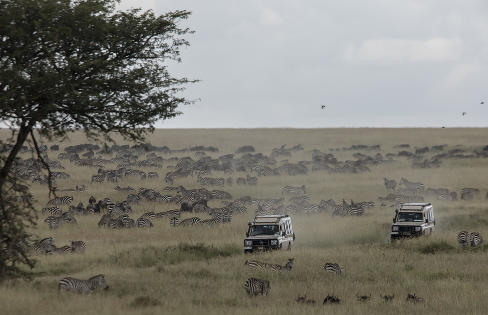 Two cars passed between zebra and wildebeest flocks during the great migrations in Serengeti National Park on Thursday (04/04) The migration route is sometimes thought of as a set circuit that occurs between Tanzania