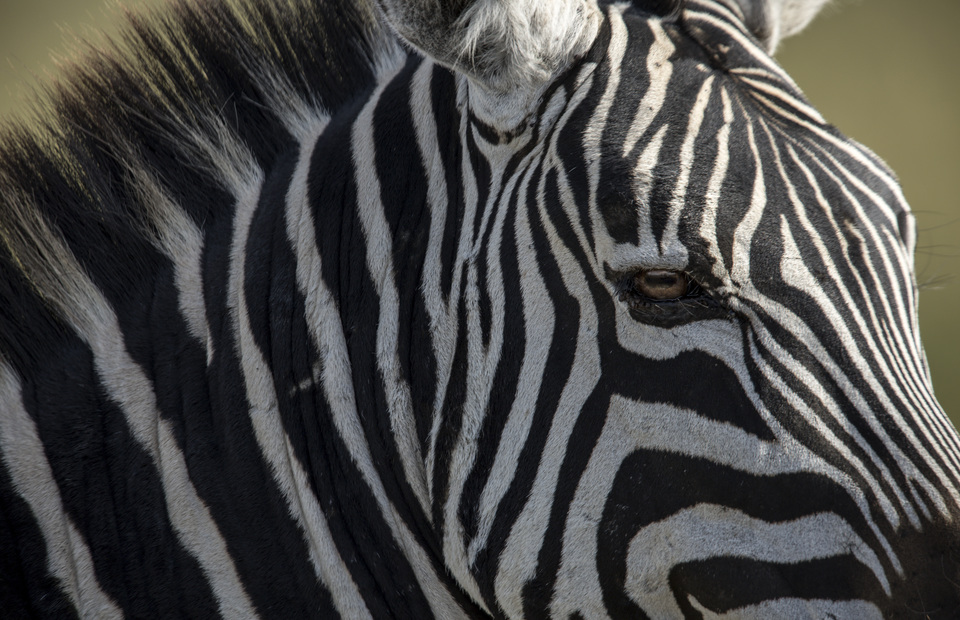 Zebras are seen in Ngorongoro Conservation Area, Tanzania on Wednesday (03/04) Zebras are the leader of the great migration. They can find location of water and food. (JG Photo/Yudha Baskoro)