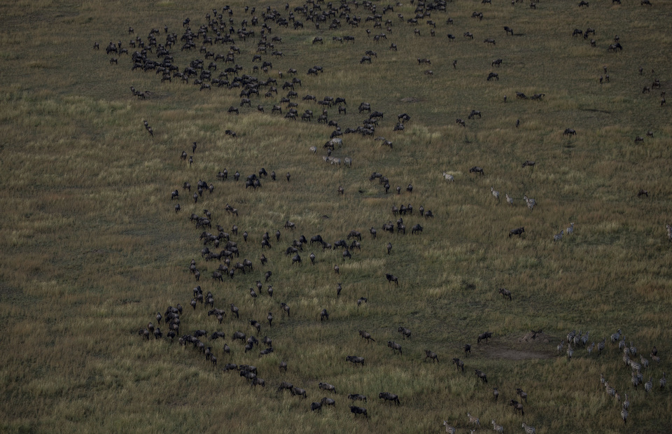 The great migration are seen from hot air balloon in Serengeti National Park on Friday (05/04) The Great Migration of the Serengeti was selected in 2013 as one of the Seven Natural Wonders of Africa. (JG Photo/Yudha Baskoro)