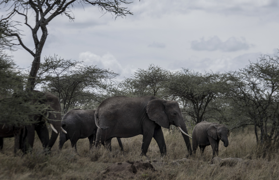 African elephants are walking on a group to protect their newborns in Serengeti National Park on Friday (05/04) (JG Photo/Yudha Baskoro)