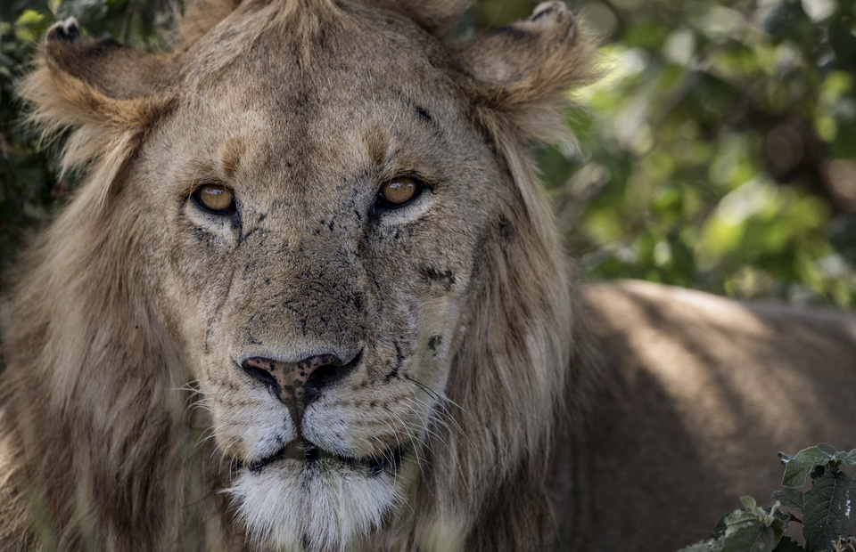 A male african lion hiding on the bush in Serengeti National Park on Thursday (04/04) The endless plains become world