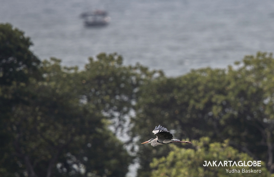 Cangak Abu (Ardea cinerea) flies at Pulau Rambut ecosystem (JG Photo/Yudha Baskoro)