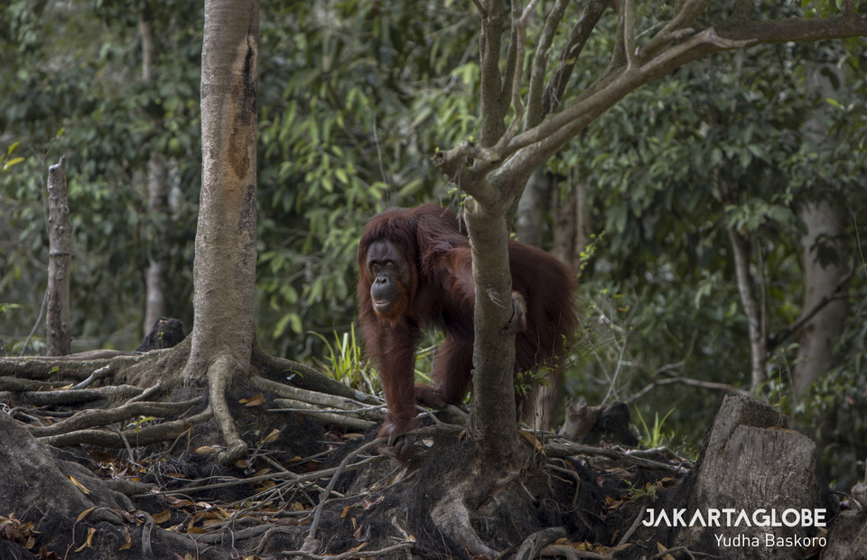 Kaja Island, home to Bornean Orangutan (Pongo pygmaeus), is not covered by smoke and haze due to forest and peatlands fires in Palangka Raya, Central Kalimantan after the rain fell on Palangka Raya on Wednesday night (02/10). (JG Photo/Yudha Baskoro)