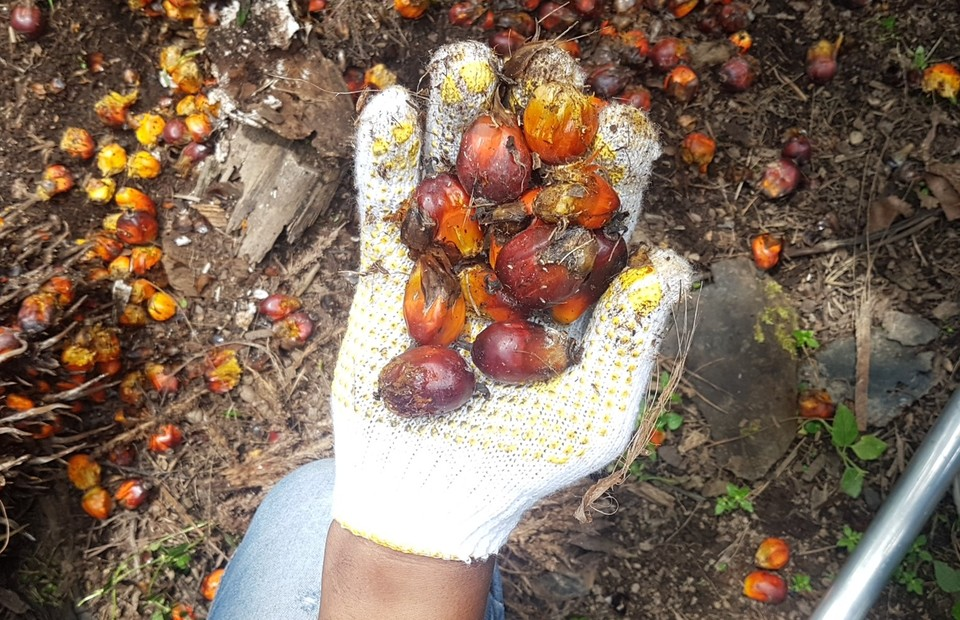 Fresh off the tree palm oil at Batang Toru sub-district, South Tapanuli, North Sumatra. (JG Photo/Nur Yasmin)