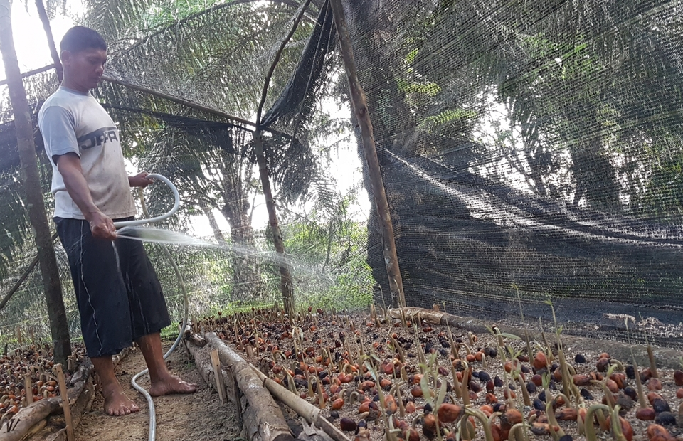 A farmer watering and nurturing high-quality palm oil seeds, at South Angkola sub-district, South Tapanuli, North Sumatra. (JG Photo/Nur Yasmin)