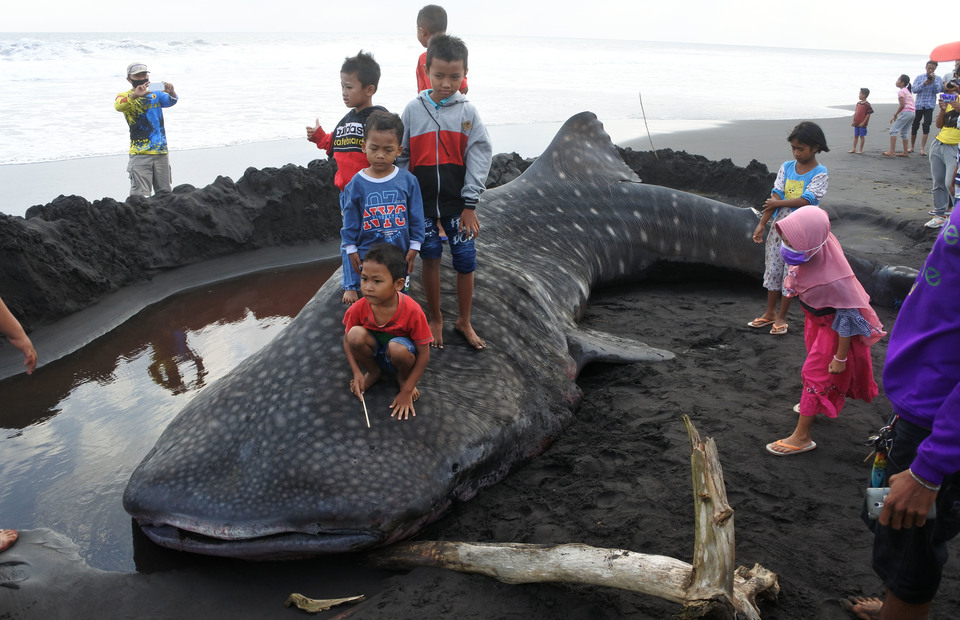 Children play on the carcass of a stranded whale shark in Kencong subdistrict, Jember, East Java, on August 30, 2020. (Antara Photo/Seno)
