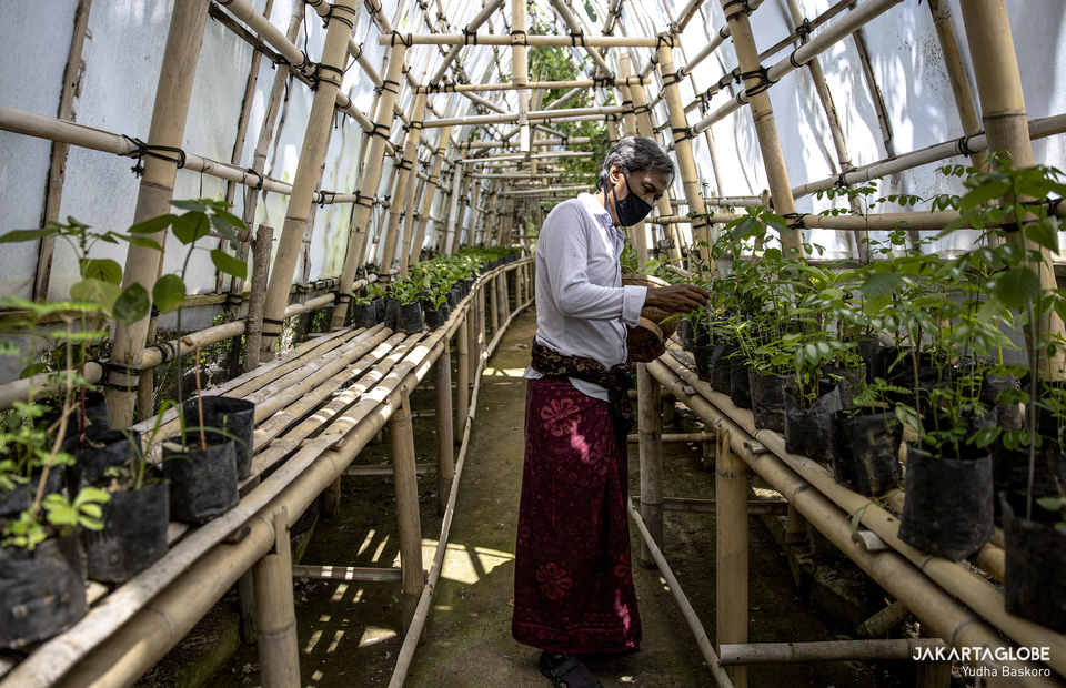 I Wayan Tana, 54, checks his plants inside his greenhouse in Malini Agro Park, Uluwatu, Bali. (JG Photo/Yudha Baskoro)