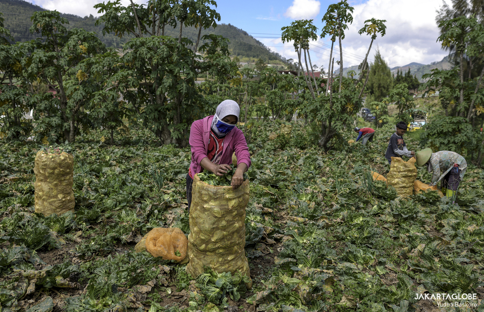 Farmers harvest triwis fruits at Dieng plateau area in Banjarnegara, Central Java on Sunday (15/11). (JG Photo/Yudha Baskoro)