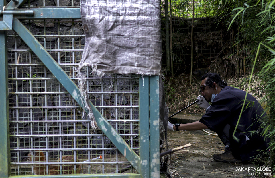 Imam Arifin, a veterinarian from International Animal Rescue blows an anesthesia rehabilitation cage in Animal Sanctuary Trust Indonesia in Bogor, West Java on Monday (07/12). (JG Photo/Yudha Baskoro)