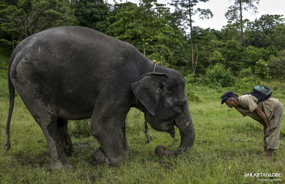 A mahout trains an elephant to lower its head as a sign of salutation and gratitude at Bukit Barisan Selatan National Park in Lampung on Dec 12. (JG Photo/Yudha Baskoro)