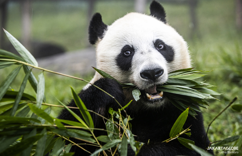 Giant panda (Ailuropoda melanoleuca) eats bamboo leaf at Taman Safari Indonesia in Bogor, West Java on Feb, 5, 2021. (JG Photo/Yudha Baskoro)
