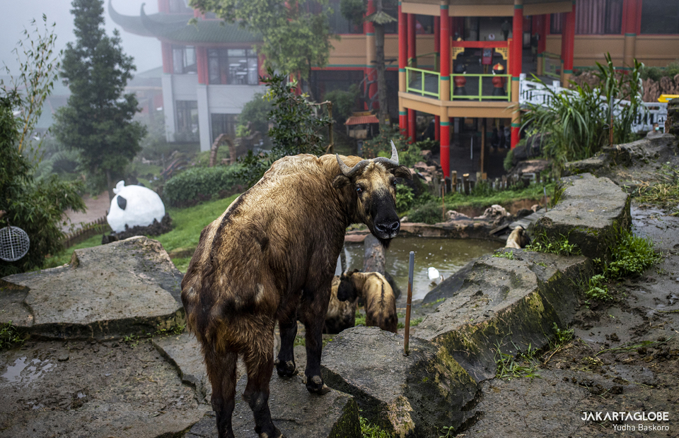 A takin stands inside its shed in front of Istana Panda at Taman Safari Indonesia in Bogor, West Java on Feb, 5, 2021. (JG Photo/Yudha Baskoro)