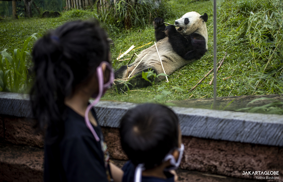 Visitors watch giant panda at Taman Safari Indonesia in Bogor, West Java on Feb, 5, 2021. (JG Photo/Yudha Baskoro)