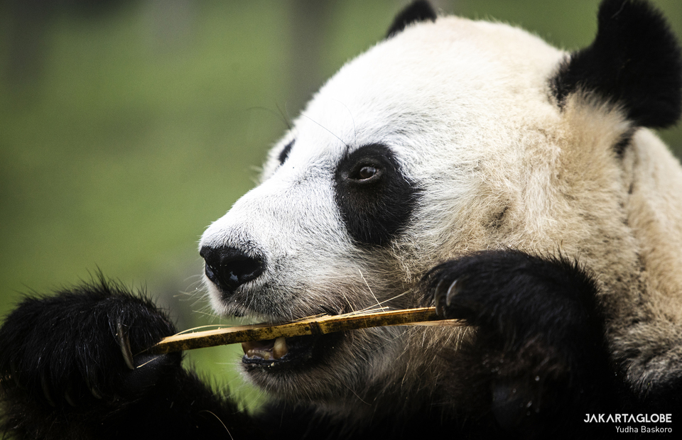 Giant panda (Ailuropoda melanoleuca) eats bamboo at Taman Safari Indonesia in Bogor, West Java on Feb, 5, 2021. (JG Photo/Yudha Baskoro)
