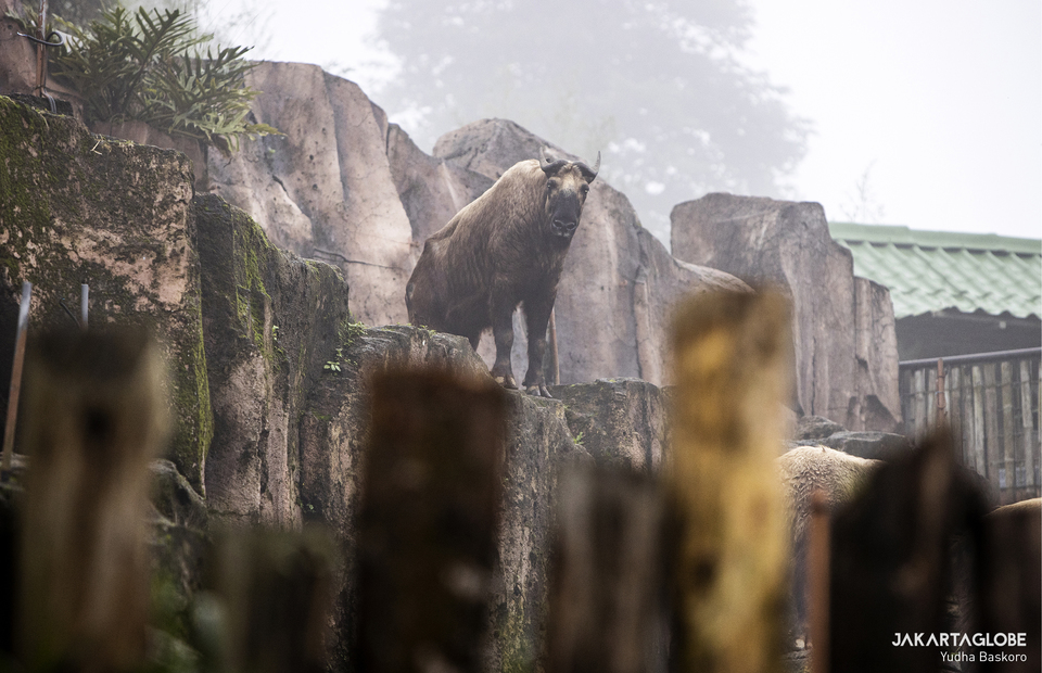 Takin stands on a high ground at its shed at Taman Safari Indonesia in Bogor, West Java on Feb, 5, 2021. (JG Photo/Yudha Baskoro)