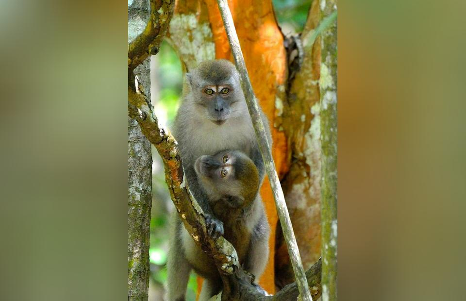Long Tailed Macaque. (Photo Courtesy of RER/Prayitno)